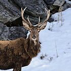 Red deer - Parc Omega, Montebello, PQ by Tracey  Dryka