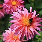 Busy as a Bee on a Dahlia by Jaymilina
