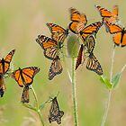 Monarch Butterflies fluttering by Greg Schneider