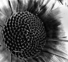 Banksia husk by ChristinaR