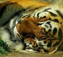 Sleeping Tiger by kat  -