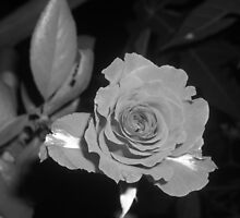 ROSE FLOWE IN B&W by Khaled EL Tangeer