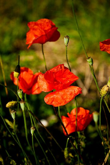 Joli Coquelicot by Jacinthe Brault
