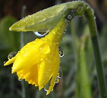 Daffodil with droplets by Sally J Hunter
