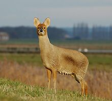 Fenland Deer by James Stevens