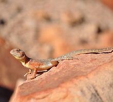 Ring-tailed Dragon (Ctenophorus caudicinctus), Krichauff Ranges, Central Australia by sahoaction