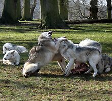 Wolf fight by Roxy J