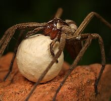 nusery web spider and her egg sack by Scott Thompson