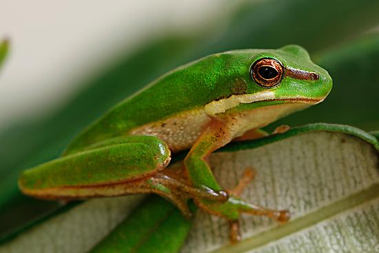 Eastern Dwarf Green Reed Frog - Litoria fallax by Normf