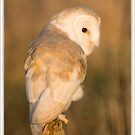 Barn owl at sunset by AngiNelson