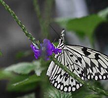 Flying Zebra by AmandaKopcic