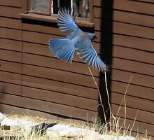 """Going Up!"" Mexican Bluejay by Sherry Pundt"