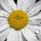 After the Rain - Daisy II by Carol Hathaway