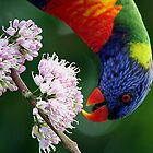 Rainbow Lorikeet 2 by footsiephoto