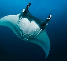 Manta Ray fly-over by wildshot