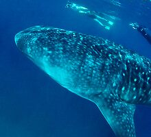 Whale Shark by wildshot