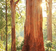 Dawn Gums, Dandenongs, Australia  by Michael Boniwell