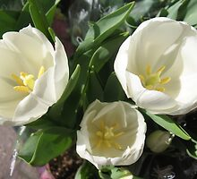 Milky-White Tulips by MarianBendeth