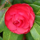 Rosy Red Camellia - Hot Springs, Arkansas by Lee Hiller-London