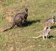 The Wallaroo Family by Lyn  Thomsen