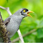 Noisy Miner by bygeorge