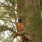 Fox Squirrel by Howard & Rebecca Taylor
