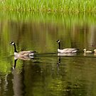 Goslings in Tow by Tracy Riddell