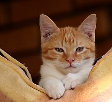 cute ginger cat by footsiephoto