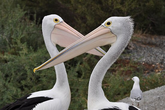 My beak is bigger than yours - Australian Pelicans by Ian Berry