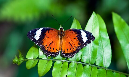 Orange Lacewing by Jenny Dean