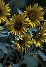 Sunflowers by yolanda