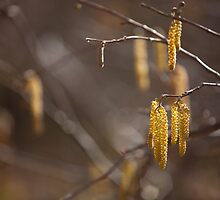 'Catkins' by Mark Smith