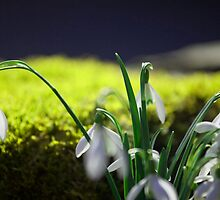 'Snowdrops' by Mark Smith