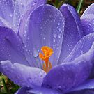 Crocus .. March by AnnDixon