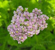 Budding Achillea millefolium - Common Yarrow by Tracy Faught