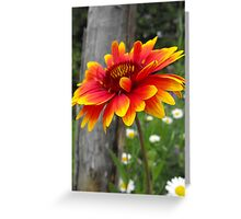 Blanket Flower-Asteraceae-Gaillardia  Greeting Card