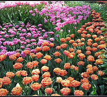 Pink and Orange Tulips - Keukenhof Gardens, Netherlands by BlueMoonRose