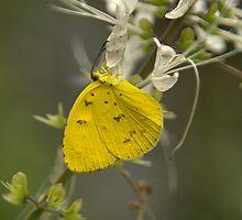 Lemon Migrant Butterfly by Rosemaree