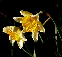 Narcissus in the Afternoon Sun by ArtisanArts
