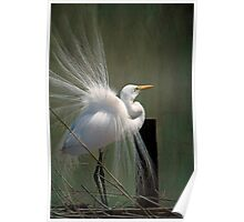 Avery Island Egrets--Great Egret in all his Regalia Poster