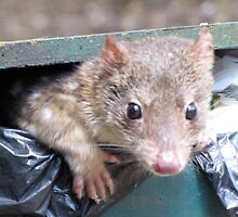 Spotted-tailed quoll daylight scavenging by DianneLac