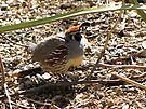Gambel's Quail ~ Male by Kimberly Chadwick