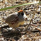 Gambel's Quail ~ Male by Kimberly P-Chadwick