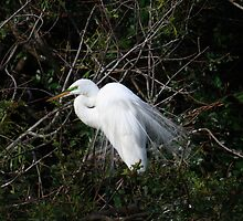 Great White Egret (Casmerodius albus) by Virginia N. Fred