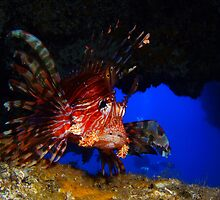 Lionfish in cave, Balls Pyramind, Lord Howe, NSW, Australia by Sean Elliott