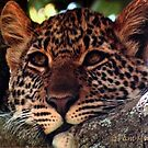 The Leopard Contemplates by Pam Moore