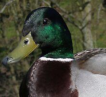 Duck bill by karenkirkham