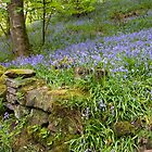 Bluebells at Hardcastle Crags by keighley