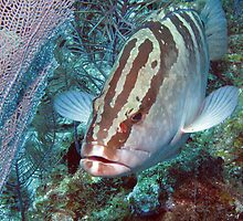 Nassau Grouper & Sea Fan by A.M. Ruttle