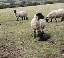 Six Legged Sheep ?,Ballymurphy,County Carlow. by Pat Duggan